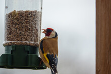 Close Up Of A Goldfinch Dining Out On The Bird Feeder Sun Flower Heart Seeds
