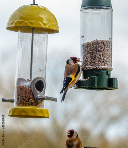 Valokuva a pair of goldfinch dining out on sunflower heart seeds