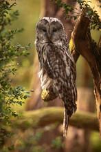Male Ural Owl (Strix Uralensis) Portrait On A Branch Close Up