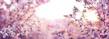 Branches Of Blossoming Cherry On Sunny Background. Panorama Size Landscape.  Pink Flowers. Spring Banner.
