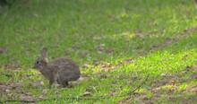 Wild Rabbit Bunny Eating In Rows Of Farm Crop Green Shoots