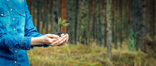 Planting A Forest And Reforestation Concept - Hands Holding Pine Tree Seedling. Banner Copy Space