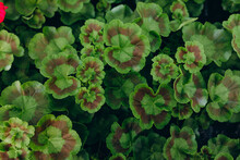 Growing Flower Seedlings Of Geranium And Begonia, Green Sprouts Plant In A Greenhouse.