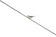 A Sparrow Sits On A Cable. Photos And Pictures Of A Sparrow