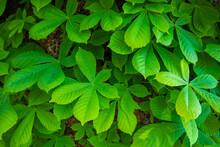 Chestnut Tree Green Leaves