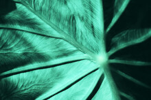 Deep Blue Green Leaf Of  Colocasia Gigantea Or Giant Elephant Ear In Morning Light. Close Up Nature Fibrous Vein Texture For Background.