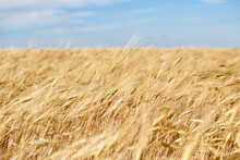 Ripening Ears Of Yellow Wheat Field On The Sunset Cloudy Blue Sky Background. Golden Wheat Field And Sunny Day
