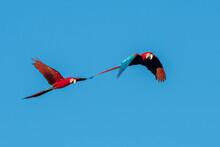 Brazil, Mato Grosso Do Sul, Jardim, Scarlet Macaws Flying