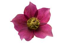 Burgundy Hellebore Flower Isolated