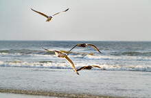 Brown And Speckled Seagulls Flying At Daytona Beach Florida.