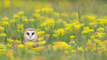 Flowers In The Filed With The Wonderful Barn Owl (Tyto Alba)