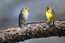 Two Gold Finches, Male And Female On Branch On Spring Day