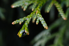 A Thin Green Branch Of A Garden Thuja With A Wrap-around Plan, Illuminated By The Sunset Rays Of The Sun Passing Through A Large Drop Of Water Left After The Rain.