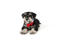 Miniature Schnauzer Puppy Black And Silver With Glasses Isolated