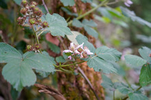 Close Up Of A Wild Bramble Flower