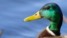 Signle Male Mallard Duck (Anas Platyrhynchos) Side Profile In Golden Sun Rays. Green Plumage Of Mating Season And Yellow Beak.