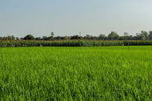 Woody Trees Behind The Green Paddy Fields With Maize Or Corn Trees