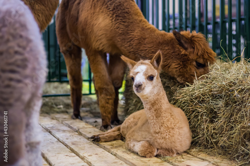 Fototapeta premium Portrait of cute little alpaca looking at camera at agricultural animal exhibition, trade show. Farming, family, agriculture industry, livestock, animal husbandry concept