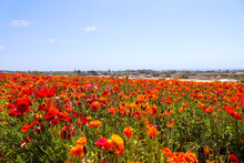 A Field Filled With Rows Of Red And Orange Flowers With Lush Green Leaves And Stems With Palm Trees And Blue Sky At The Flower Fields In Carlsbad California