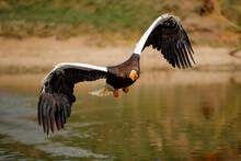 Steller's Sea Eagle (Haliaeetus Pelagicus) Fishing  In A Small Lake