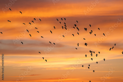 Fototapeta A flock of Canada geese circling, at sunset, prior to landing in a rye grass fie