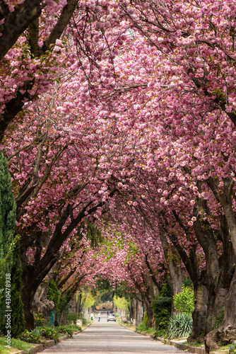 Leinwand Poster Road with blossoming cherry trees