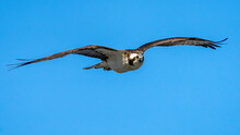 Osprey Searching For Food And Nesting