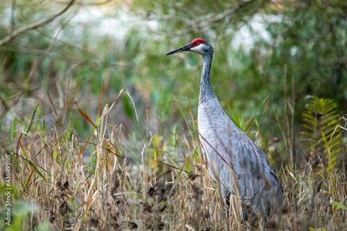 Fototapeta premium Single sandhill crane close up portrait at day