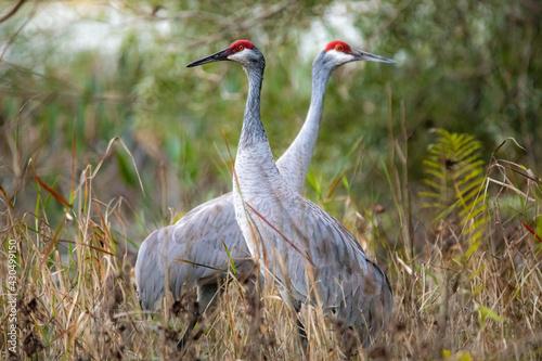 Fototapeta premium Pair of sandhill cranes during mating season close up