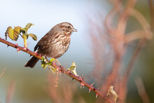 Song Sparrows Watches The Action From A Blackberry Bramble