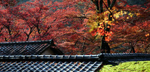 Beautiful Maple Foliage Over The Roof And Fallen Leaves On The Leaves Of A Japanese Architecture In A Peaceful, (Autumn Season In Japan).