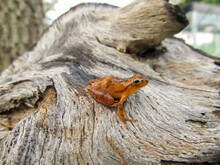 Southern Spring Peeper (Pseudacris Crucifer) Chorus Frog, Posed On Piece Of Driftwood, Side Profile View