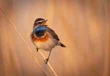 Bluethroat Bird Close Up ( Luscinia Svecica )