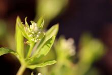 Nahaufnahme Von Blüten Der Seltenen Naturheilpflanze Echter Waldmeister - Mit Textfreiraum
