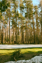 Spring In A Pine Forest Of A Park Zone. In Early Spring, The Sno
