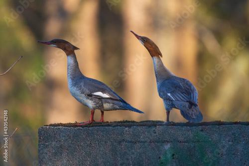 Fototapeta premium Two female mergansers in the mating season - beginning of spring