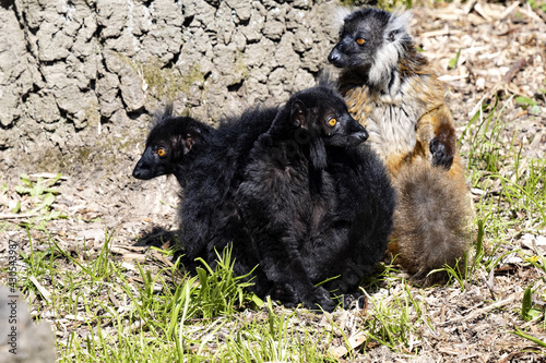Fototapeta premium The family of the Black lemur, Eulemur m. macaco, sits by a tree trunk and basks in the sun