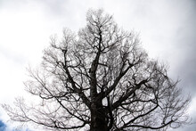 新芽出始めのダケカンバ巨木のある風景