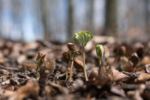 Common Beech (Fagus Sylvatica) Seedlings Sprouting Between Old Dry Leaves In The Forest At Springtime, Reborn New Life, Showing The Power Of Nature.