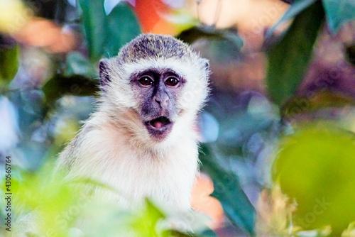 Fototapeta premium Vervant Monkey in Zambia