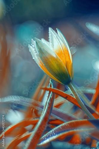 Fototapeta Tulipan botaniczny Tarda obraz
