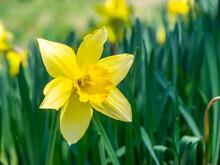 Yellow Daffodil In A Riverside (Kannonji River, Kawageta, Fukushima, Japan)