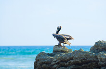 Brown Pelican Resting On A Rock