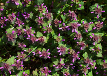 Closeup Shot Of Melastomes Flowers