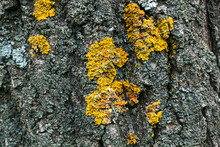 Yellow Moss On The Bark Of A Tree
