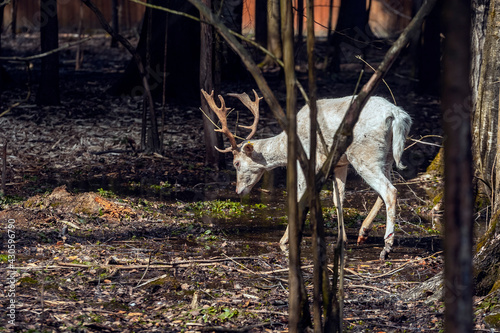 Fototapeta premium Handsome male fallow deer with big horns in the forest