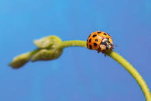 Macro Of An Orange Ladybug Walking On A Branch Of A Plant