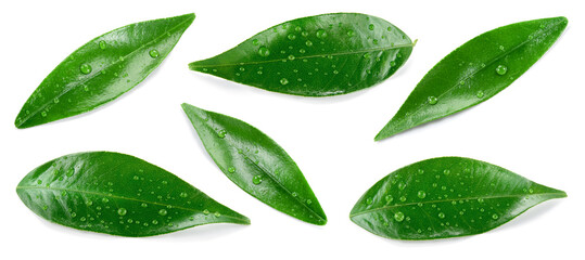 Citrusleaves on white. Orange, lemon, lime, tangerine wet leaf isolated. Leaf set with drops top view. Leaves flat lay.
