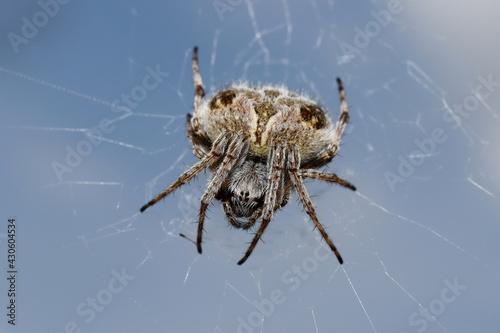 araignée épeire de velours dans sa toile sous ciel bleu Fototapet