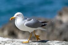 Closeup Shot Of A Seagull Perched On A Rocky Seashore In Vrsar, Croatia